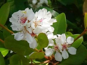 車輪梅の花が咲いている。