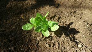 幼苗を畑へ移植する。