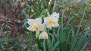 水仙の花。