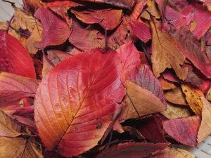 桜の落ち葉で染める。
