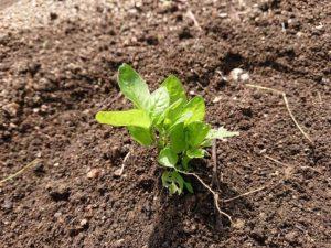 藍の育て方④「畑への定植」