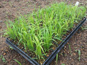 米作り(陸稲)の栽培
