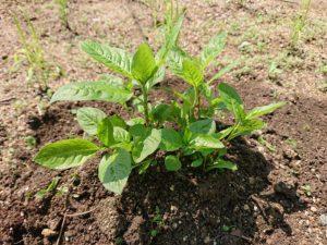 藍の育て方⑤「施肥と土寄せ」