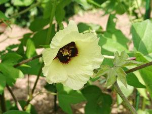 三河木綿の花
