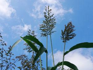 夏空と高黍