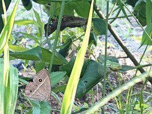 蛙と蝶と洋綿