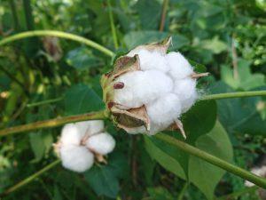 和綿と洋綿の比較